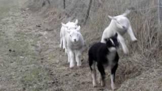 (Baby) Lambs running, jumping, playing -Texel sheep