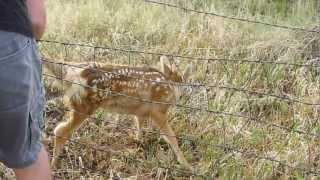 Fawn Deer Caught in Fence. Colorado