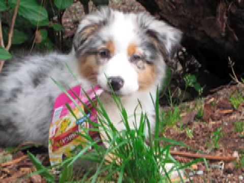 Storm the Australian Shepherd Puppy