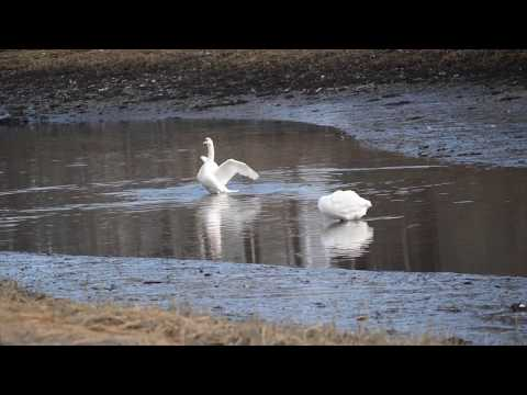 "Chelsea Creek Swans , 2014 ""Map of the World"" #CraigArmstrong 4K"
