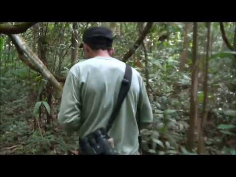 Canto do Capitão da Mata e Uirapuru na Floresta Amazônica