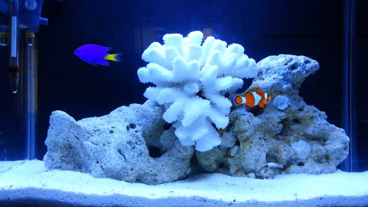 20 gallon marine aquarium youtube for Saltwater fish for small tank