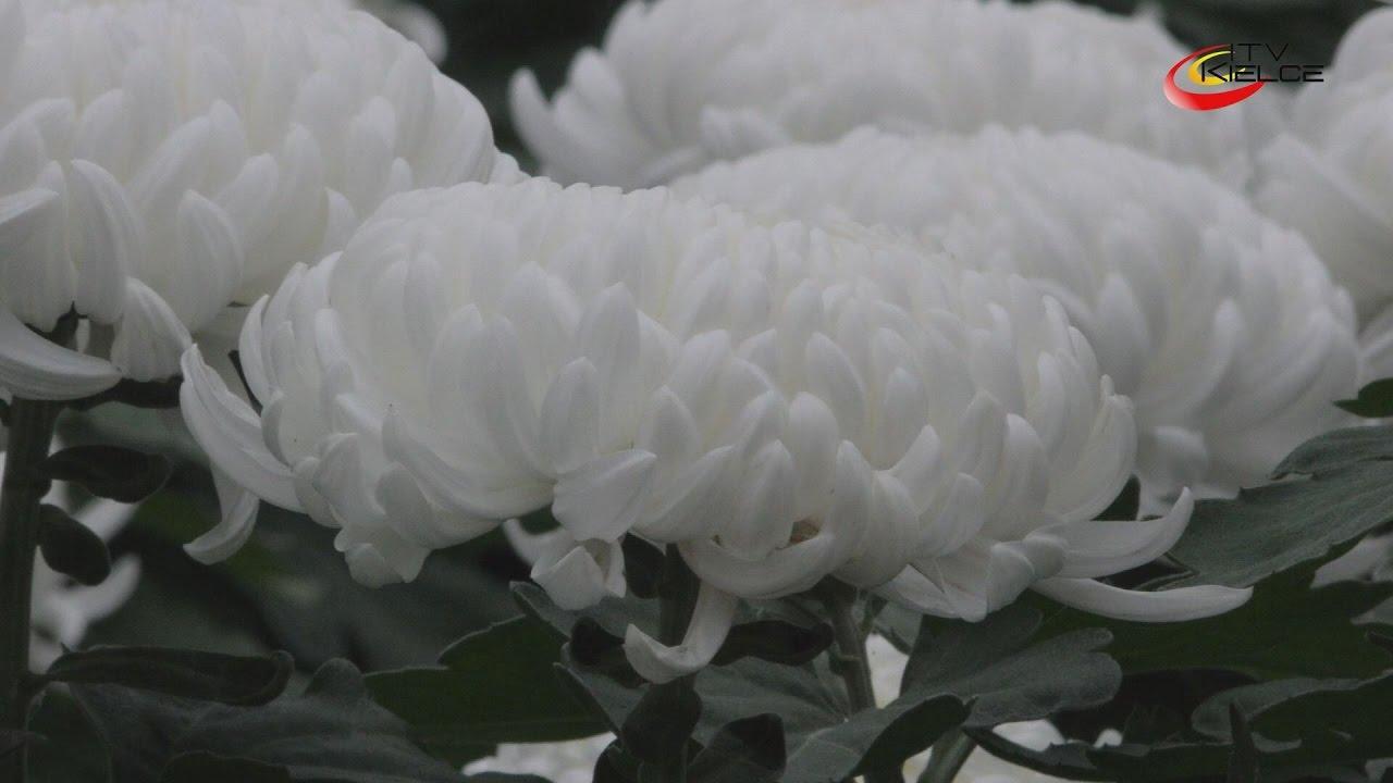 Chryzantemy kwiaty jesieni – ITV Kielce