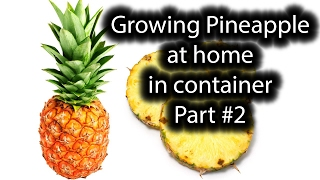 Very important! Growing Pineapple in container at home