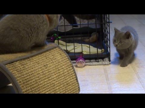 6 week old British shorthair kittens
