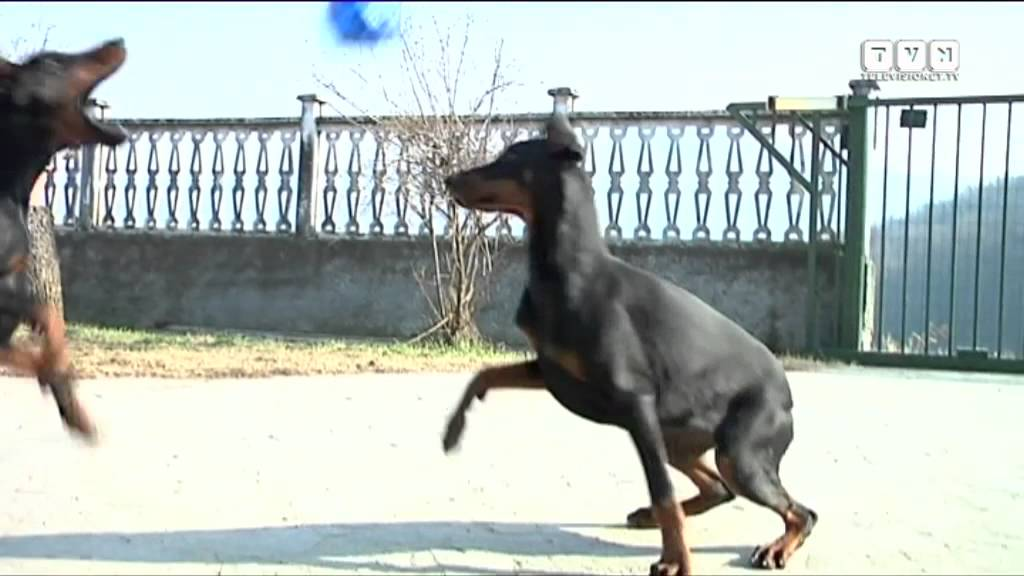 Il dobermann youtube