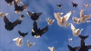 Николаевские голуби Калмыкия осень 2018год