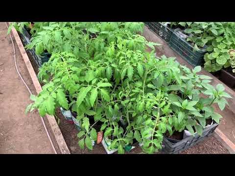 Не торопитесь рано высаживать томаты в грунт. Планирование природы.