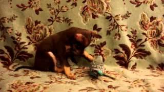 Купить щенка,той-терьер.Русский той, мини, РКФ.8-905-546-66-92