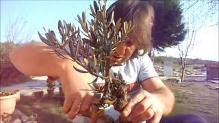 zeytin fidanı bonsai 1 gökmen teksin