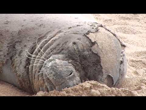R305 Hawaiian Monk Seal Molting June 1-7,2014