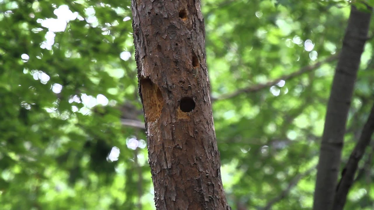Active Red Headed Woodpecker Nest In Jefferson County