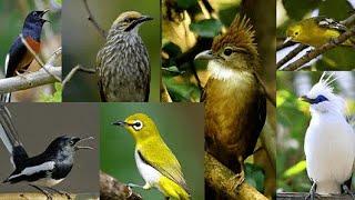 Gambar cover SUWARA pikat semua jenis burung kecil 100% ampuh