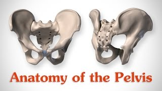 Anatomy of the Pelvis - for Artists