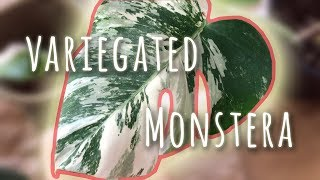 Repotting Variegated Monstera Cutting - New House Plant