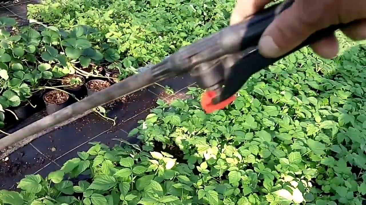 Описание сортов ремонтантной малины атлант и абрикосовая. Посадка и. В настоящее время достаточно мест, где можно купить сертифицированные саженцы. Опустите корни в глиняную болтушку, и приступайте к посадке.