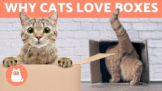 Why Do CATS Like BOXES so Much?  (6 Reasons)