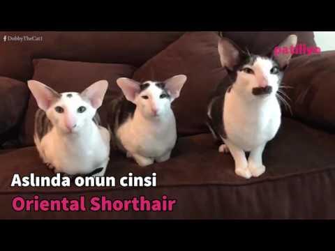 """Türünün adı """"Oriental Shorthair""""."""