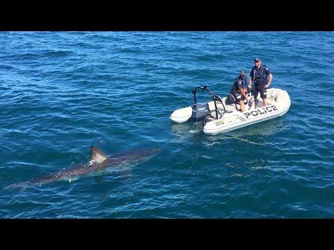 Great white shark interrupts Australian police operation