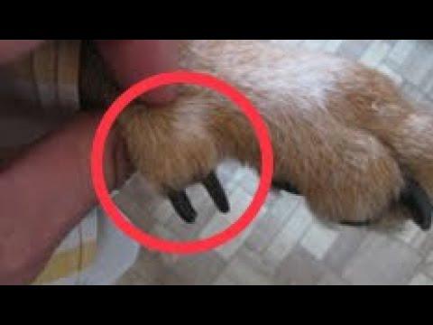 Прибылые пальцы у собак и щенков - YouTube
