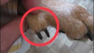 Прибылые пальцы у собак и щенков.
