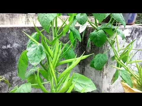 அதிக பராமரிப்பு இல்லாமல் வளரும் கொத்தவரை செடி, easy to grow cluster beans plant