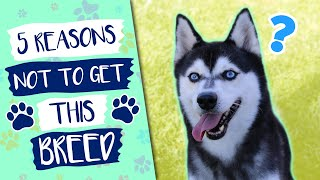 5 Cons With The Alaskan Klee Kai Dog Breed
