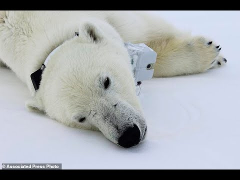 Climate change diet: Arctic sea ice thins, so do polar...