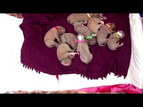 12 day young whippet litter Timelapse: 205 minutes in 7 minutes