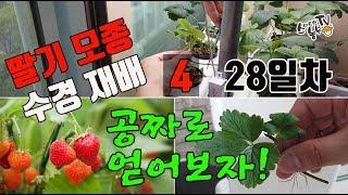 딸기 수경재배 씨앗 딸기모종 공짜로 만들기
