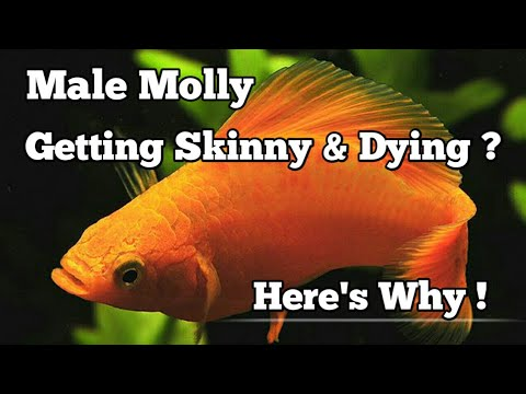 Male Molly Fish Getting Skinny/thin And Dying | Here Are 3 Reasons Why And How To Avoid This Problem