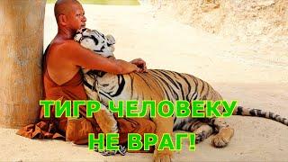 Тигр человеку не враг!