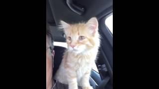 Кот на плече едет на прививку!
