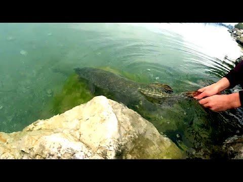 Pêche du brochet au leurre sur le lac d 'Annecy. Attaques en direct et Chandelles !