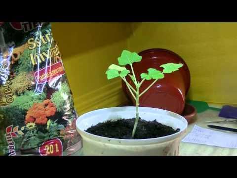 Como sembrar plantar calabac n en macetas de la semilla for Como sembrar semillas en macetas