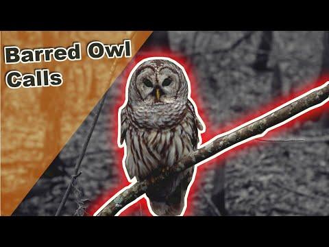 Barred Owls Calling At Night