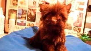 Chili Chocolate Yorkshire Terrier Puppy