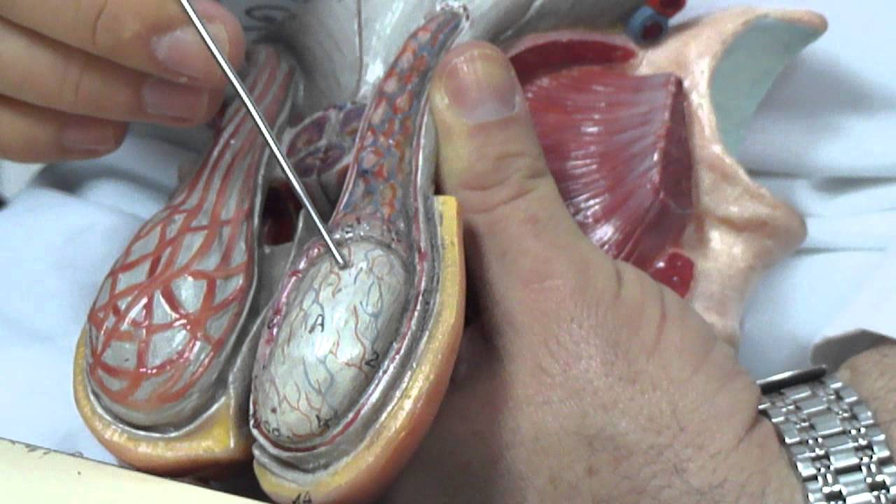 Órgano genital masculino 1 - YouTube