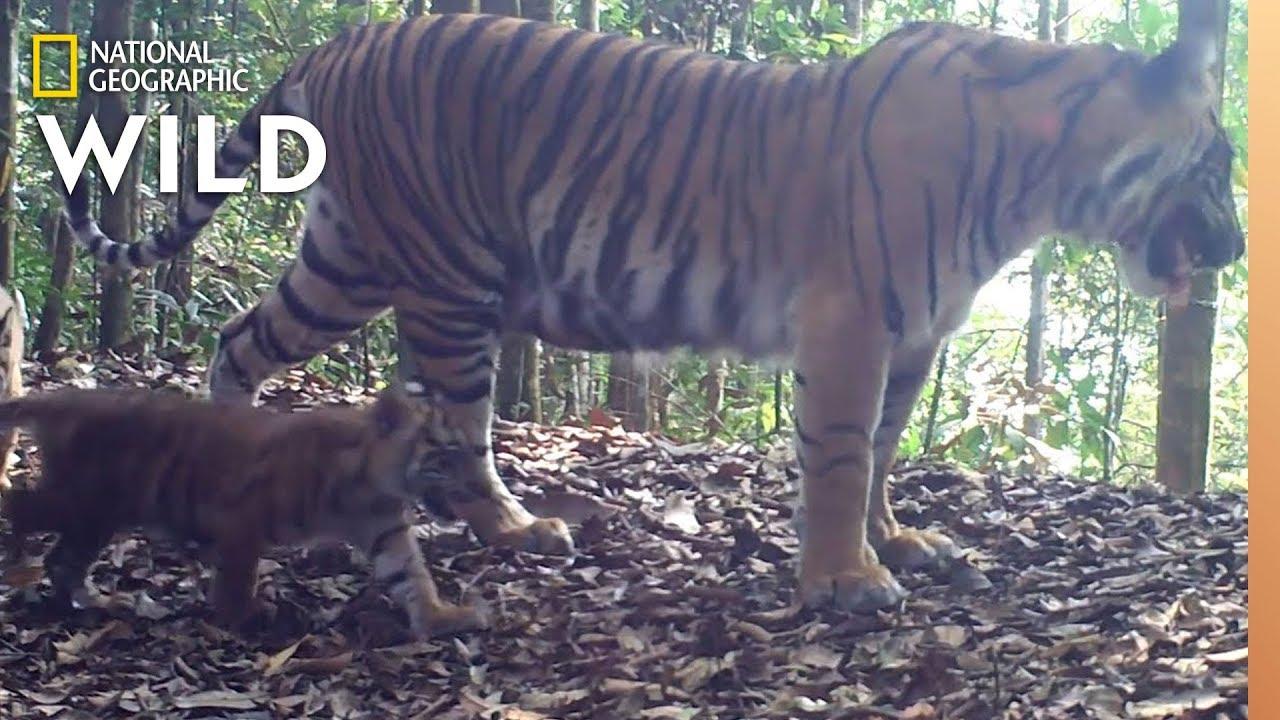 rarely seen tiger cubs