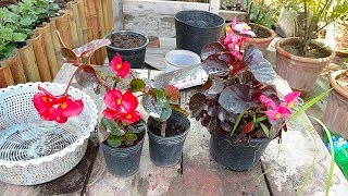 Begonia Plant Care | Tropical Plant Care | begonia flower | Winter Flower Plant