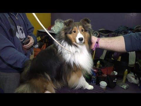 'Gunner' The Shetland Sheepdog at 2019 Westminster Kennel club Dog Show