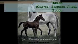 Закал(Caprie -Заграва), 2 года