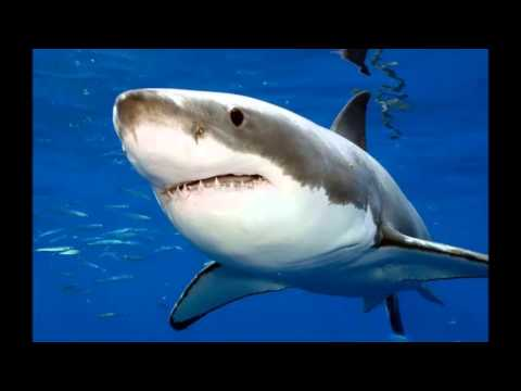 IBSSG Autumn Lecture Tour 2014- Dr Klimley-The Conservation of Sharks