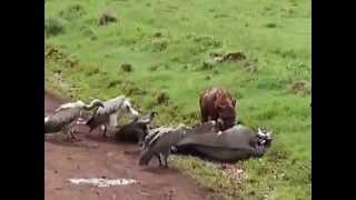 гиена ест заживо антилопу