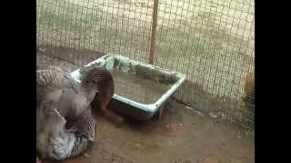 Тулузские гуси (в Орле)