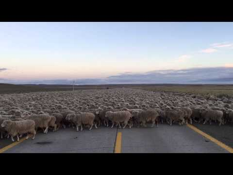 Sheep Attack - Punta Arenas Chile