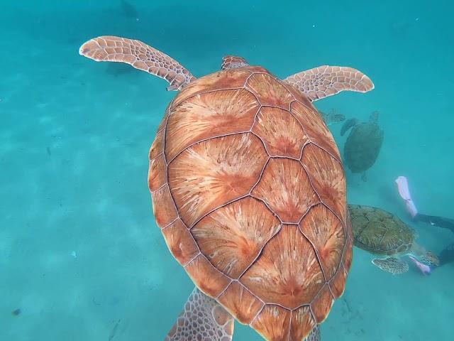 Curaçao Dreams - Snorkeling with sea turtles!