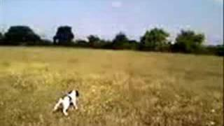 """Springer Spaniel """"rambo"""" In Cerca Su Pernice Cecina"""