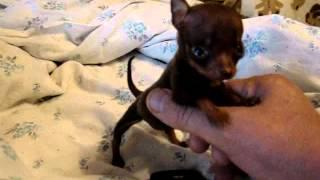 той терьер мини-мышонок самая маленькая собачка