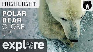 Extreme Close Up Of A Polar Bear - Live Cam Highlight